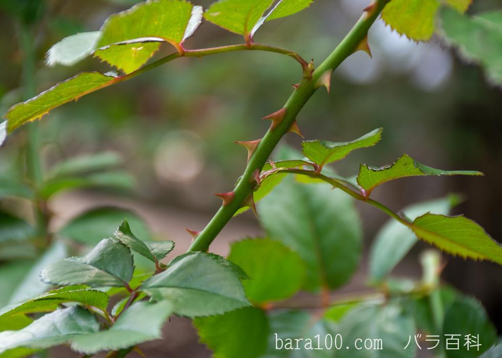 ラーヴァグルート/ラバグルト:花博記念公園鶴見緑地バラ園で撮影したバラの葉と枝とトゲ