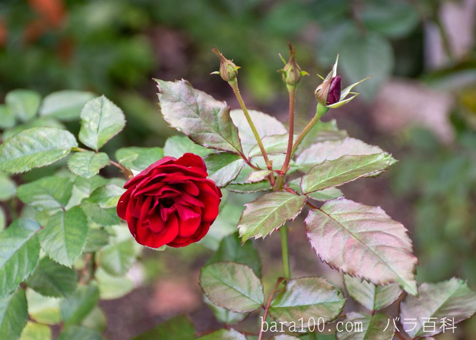 ラーヴァグルート/ラバグルト:花博記念公園鶴見緑地バラ園で撮影したバラの花