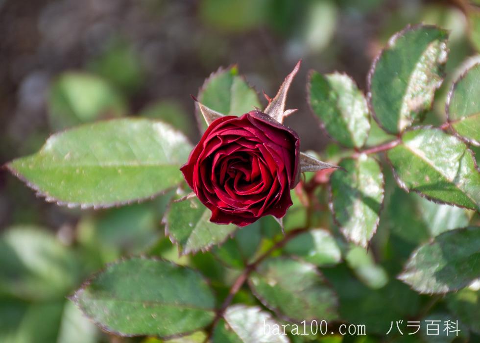 ラーヴァグルート/ラバグルト:長居植物園バラ園で撮影したバラの花