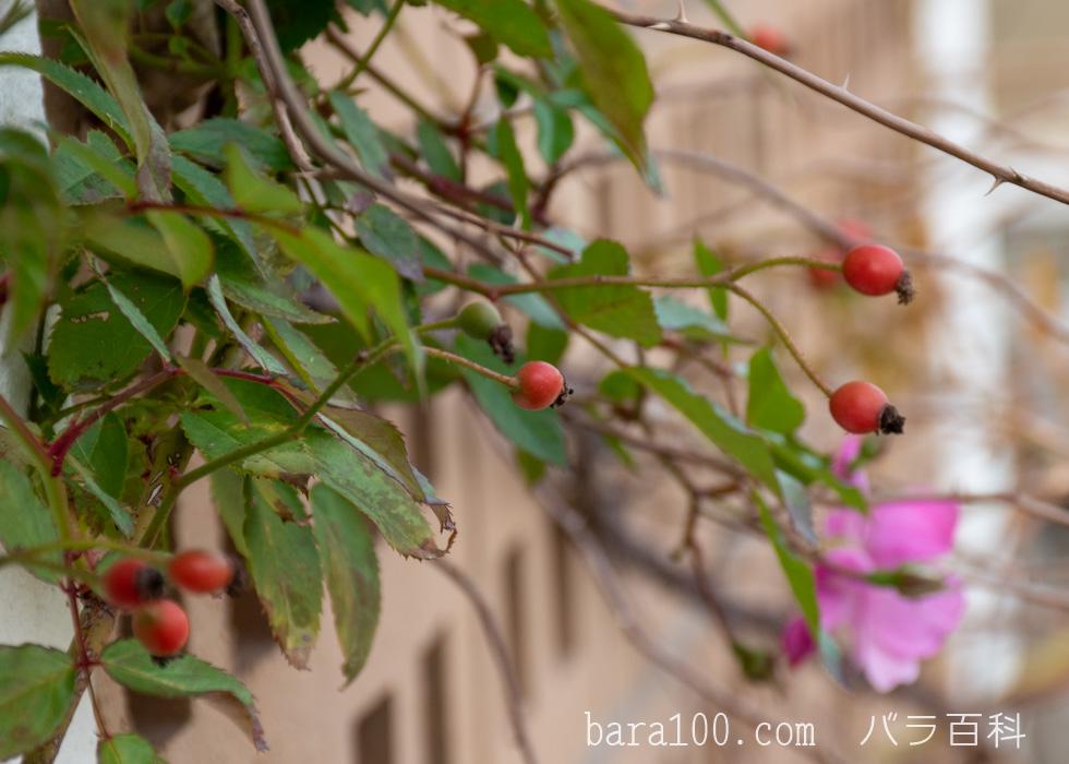 ラベンダー・ドリーム:長居植物園バラ園で撮影したバラの実