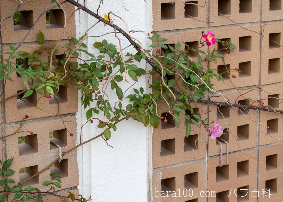 ラベンダー・ドリーム:長居植物園バラ園で撮影したバラの花