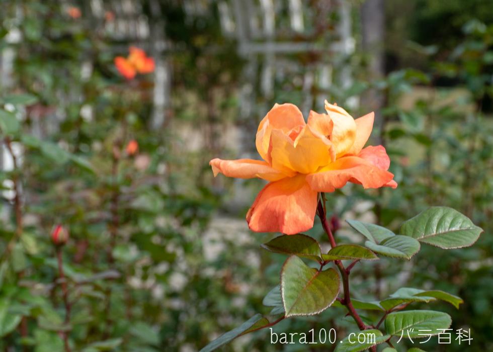 ルイ・ド・フュネス/ルイ・ド・フューネ:長居植物園バラ園で撮影したバラの花