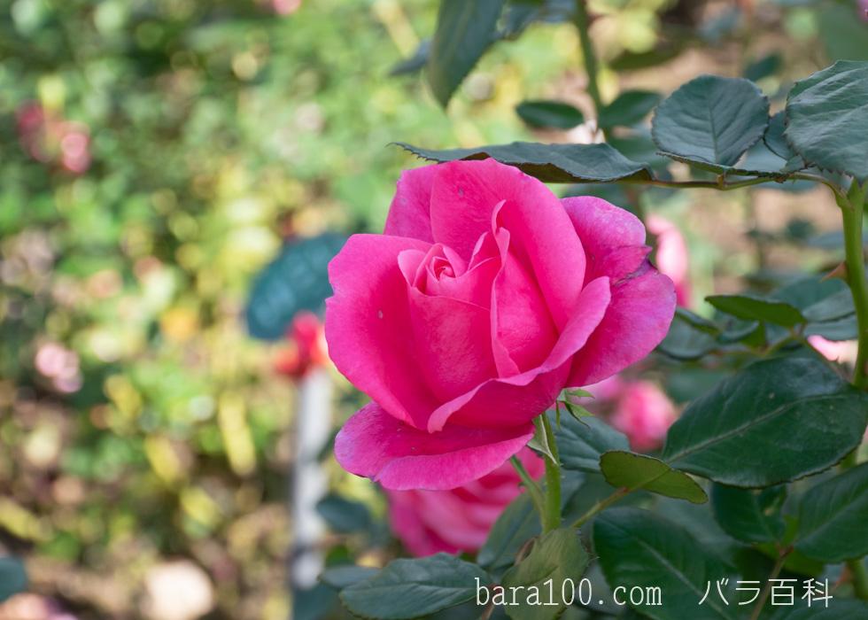 マガリ:花博記念公園鶴見緑地バラ園で撮影したバラの花