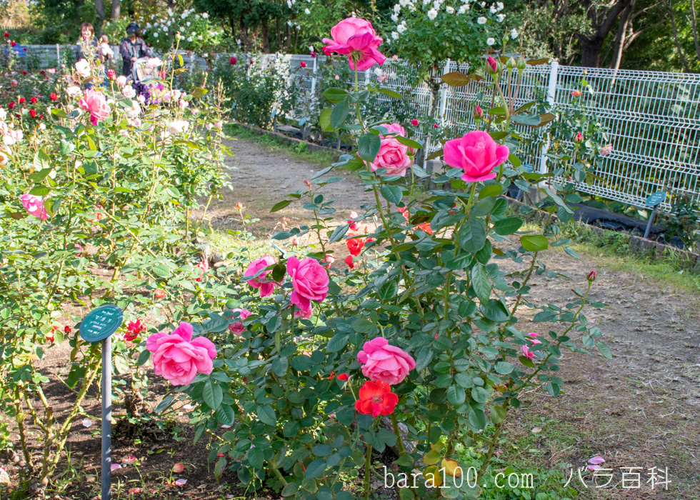 マガリ:花博記念公園鶴見緑地バラ園で撮影したバラの木