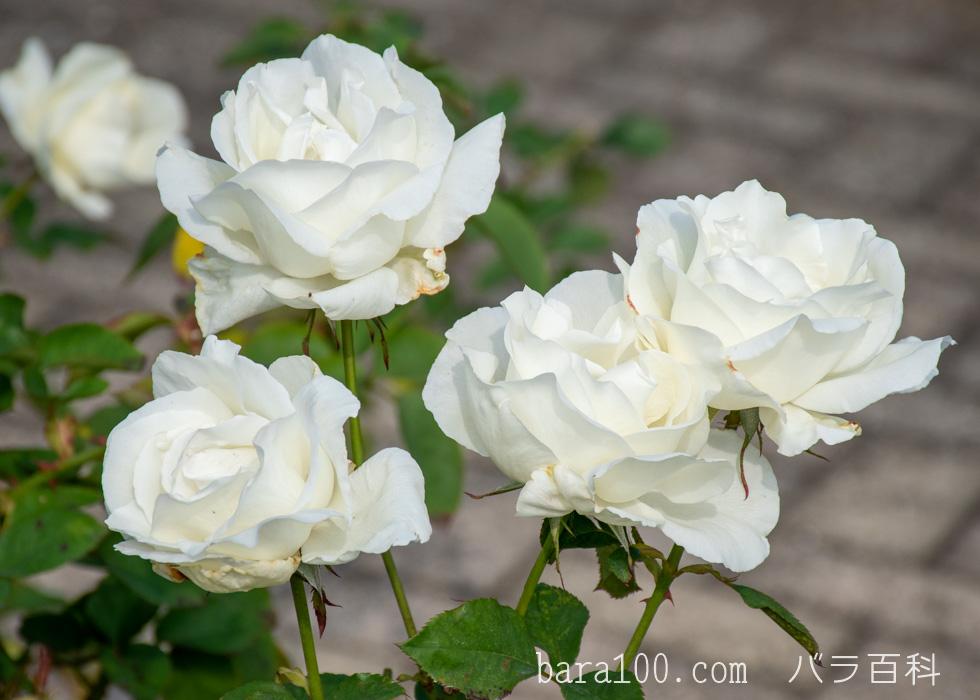 正雪(マサユキ):長居植物園バラ園で撮影したバラの花
