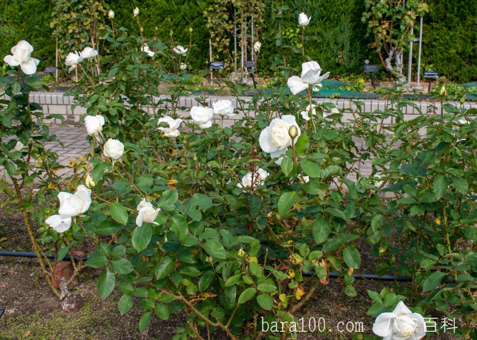 正雪(マサユキ):長居植物園バラ園で撮影したバラの木