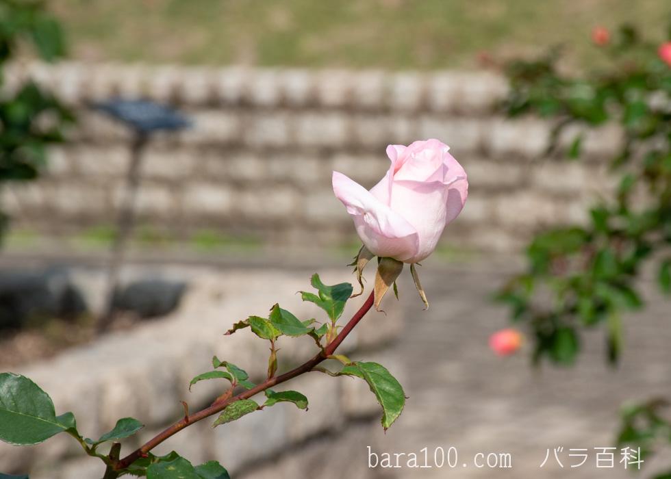 ミッシェル・メイヤン/ミシェル・メイアン:長居植物園バラ園で撮影したバラのつぼみ