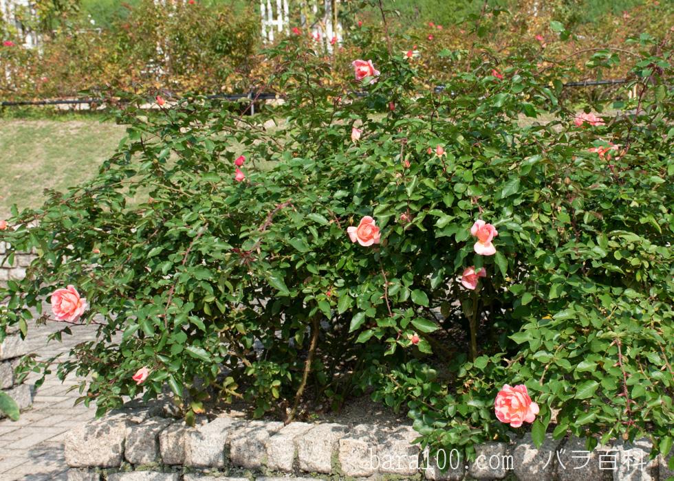 ミッシェル・メイヤン/ミシェル・メイアン:長居植物園バラ園で撮影したバラの木