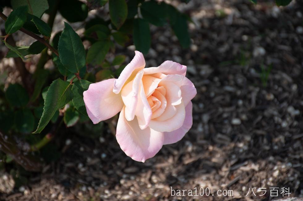 ミッシェル・メイヤン/ミシェル・メイアン:長居植物園バラ園で撮影したバラの花