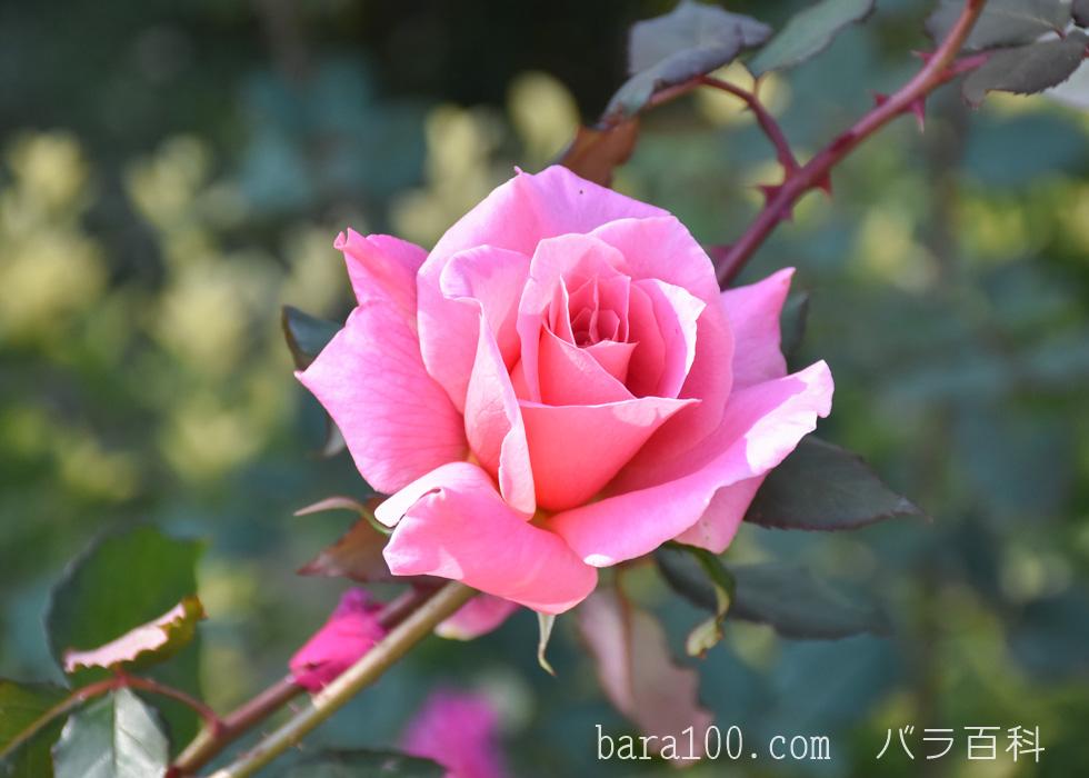 桃山(モモヤマ):花博記念公園鶴見緑地バラ園で撮影したバラの花
