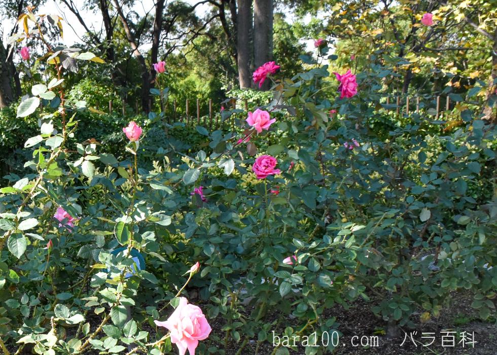 桃山(モモヤマ):花博記念公園鶴見緑地バラ園で撮影したバラの木
