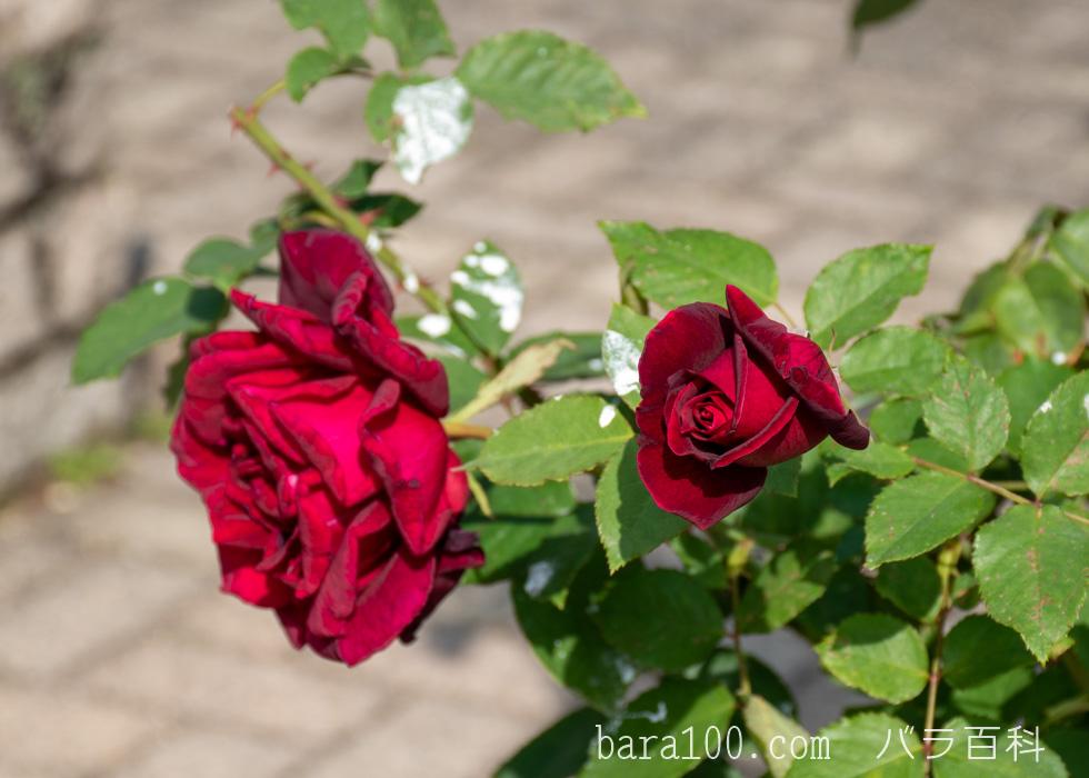 パパ・メイアン/パパ・メイヤン:長居植物園バラ園で撮影したバラの花