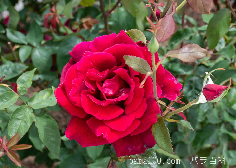 パパ・メイアン/パパ・メイヤン:湖西浄化センター バラ花壇で撮影したバラの花