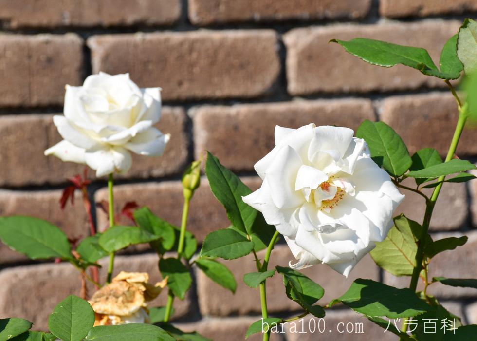 パスカリ:荒巻バラ公園で撮影したバラの花