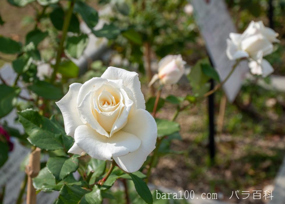 パスカリ:長居植物園バラ園で撮影したバラの花