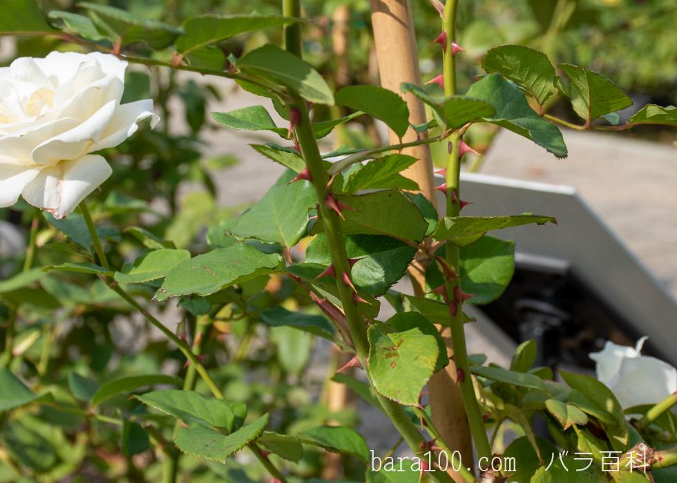 パスカリ:長居植物園バラ園で撮影したバラの葉と枝とトゲ