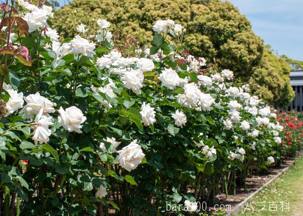 パスカリ:万博記念公園 平和のバラ園で撮影したバラの木