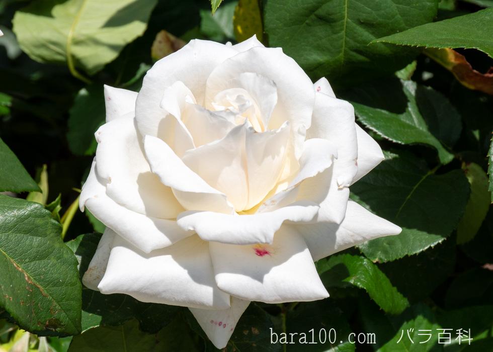 パスカリ:万博記念公園 平和のバラ園で撮影したバラの花