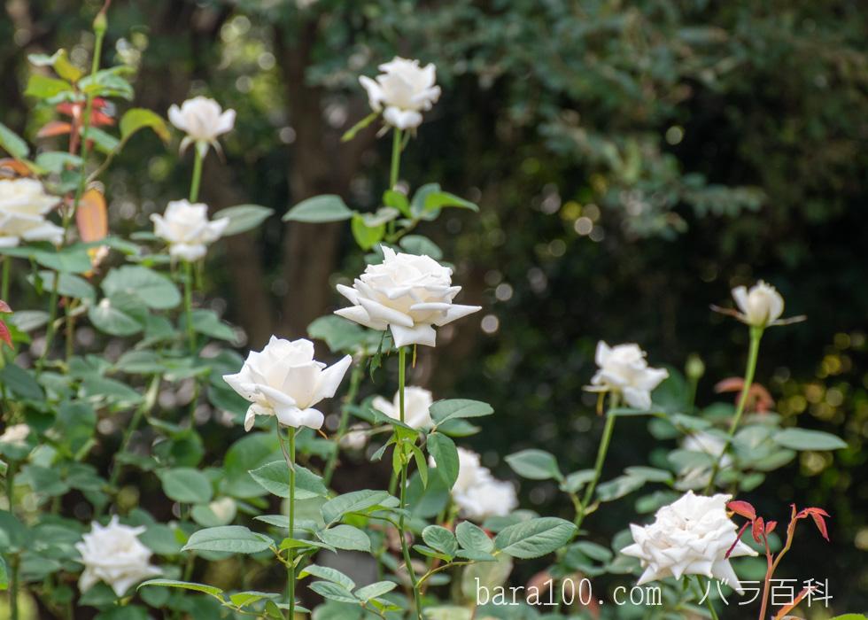 パスカリ:庄内緑地バラ園で撮影したバラの花