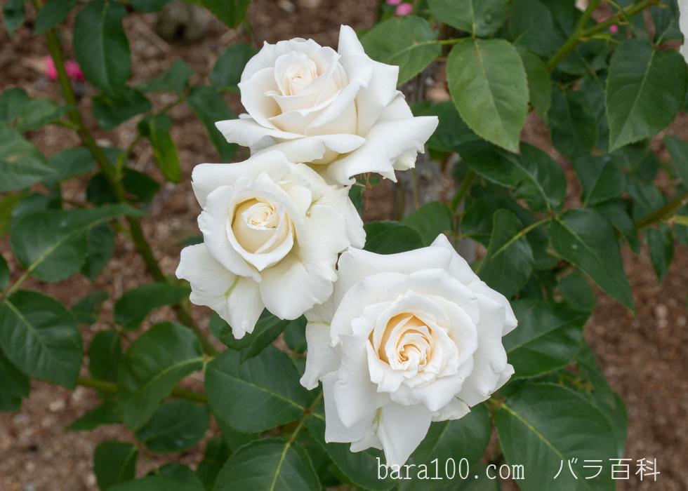 パスカリ:湖西浄化センター バラ花壇で撮影したバラの花