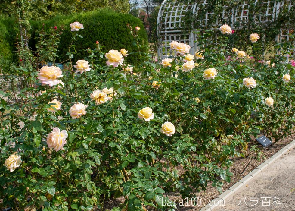 ピース:長居植物園バラ園で撮影したバラの木