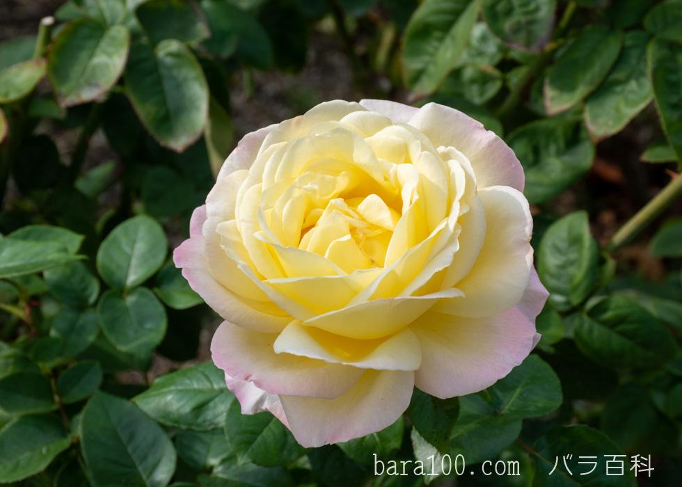 ピース:長居植物園バラ園で撮影したバラの花