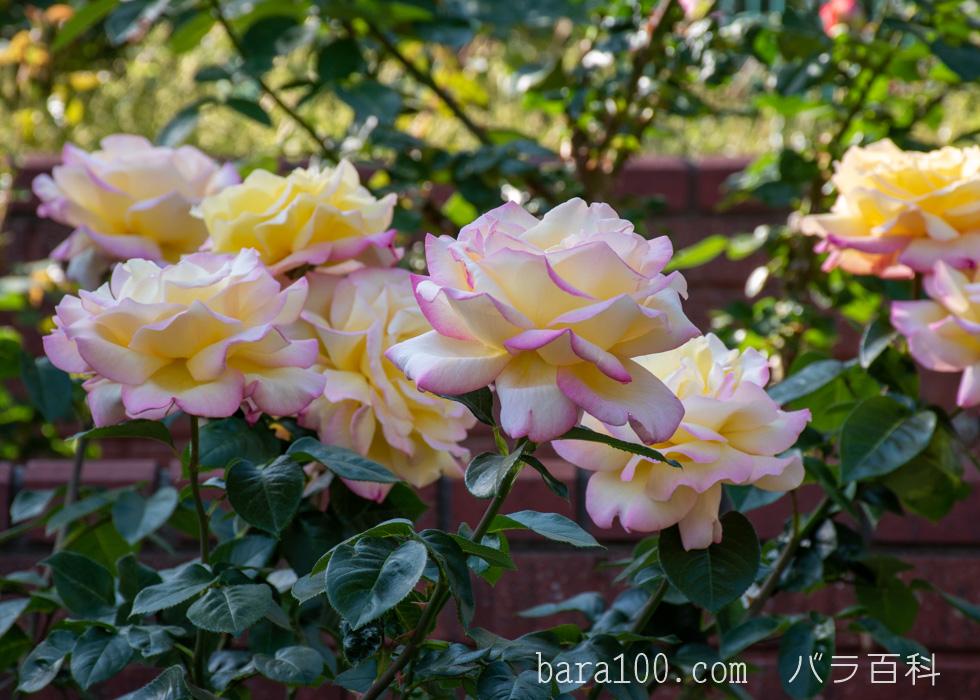 ピース:二ノ切池公園バラ園で撮影したバラの花