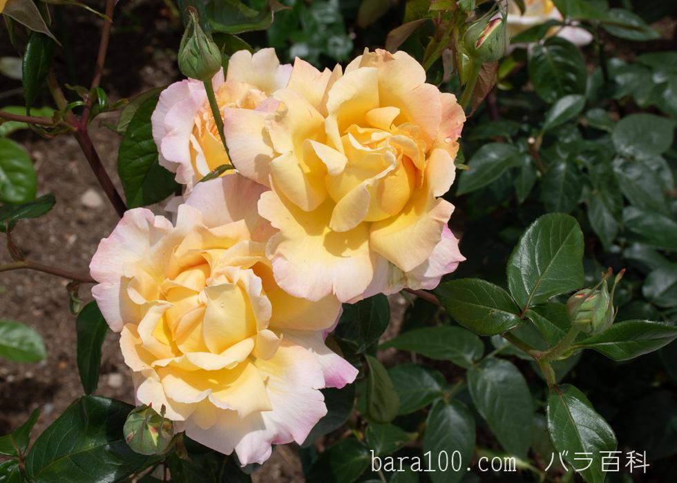 ピース:湖西浄化センター バラ花壇で撮影したバラの花
