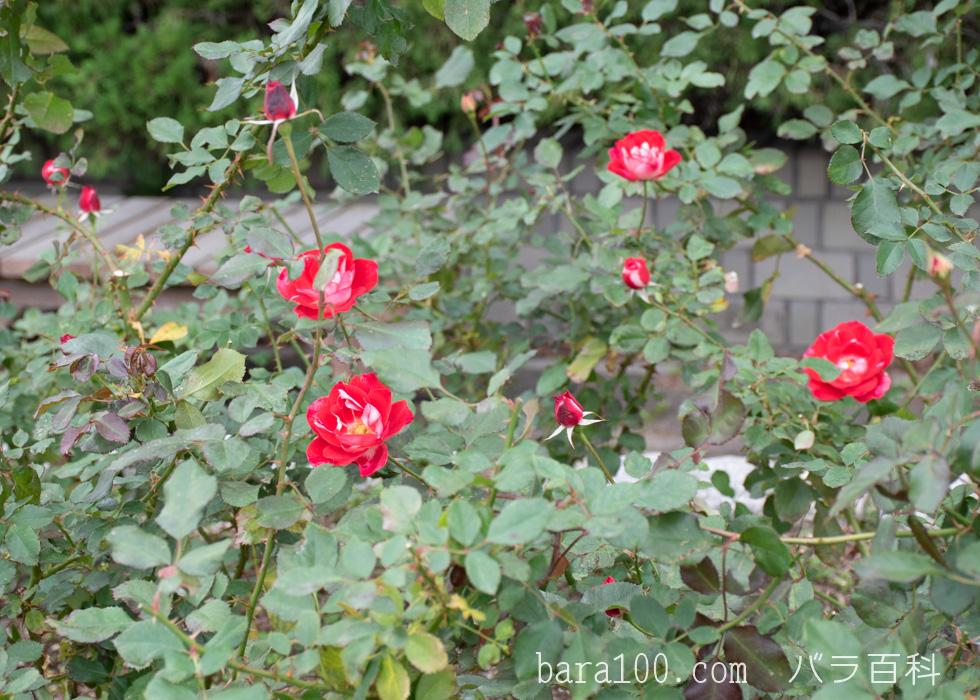 ピカソ:長居植物園バラ園で撮影したバラの木