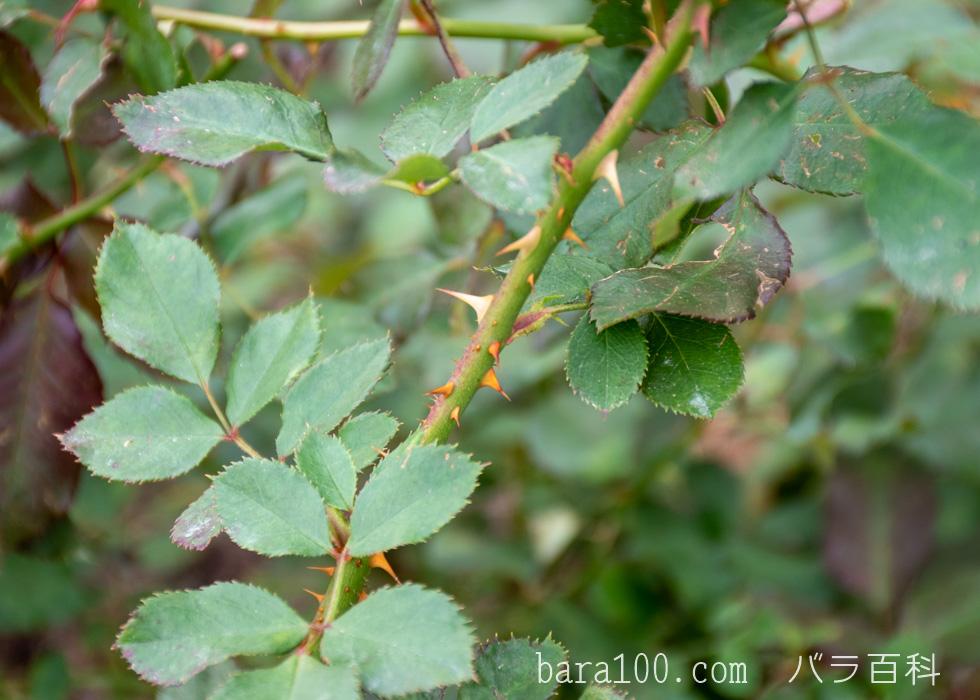 ピカソ:長居植物園バラ園で撮影したバラの葉と枝とトゲ
