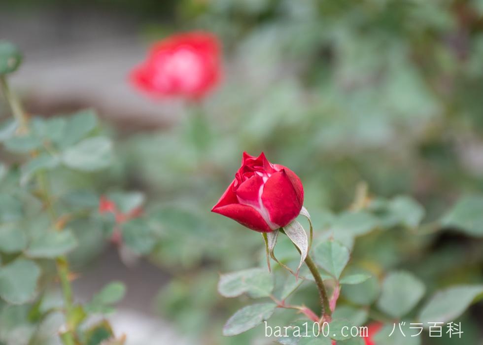 ピカソ:長居植物園バラ園で撮影したバラのつぼみ