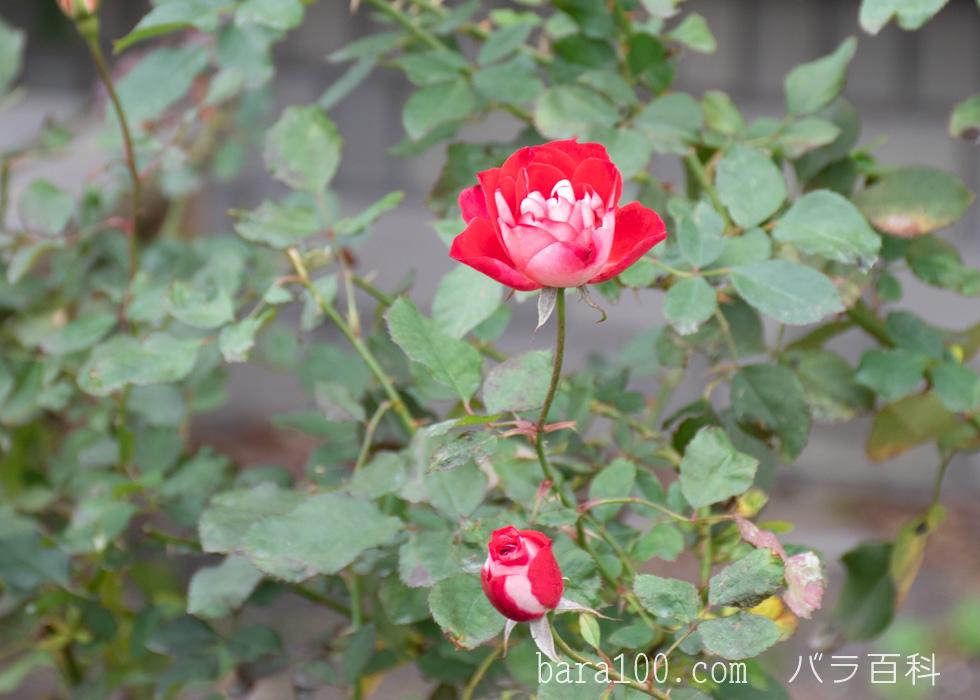 ピカソ:長居植物園バラ園で撮影したバラの花