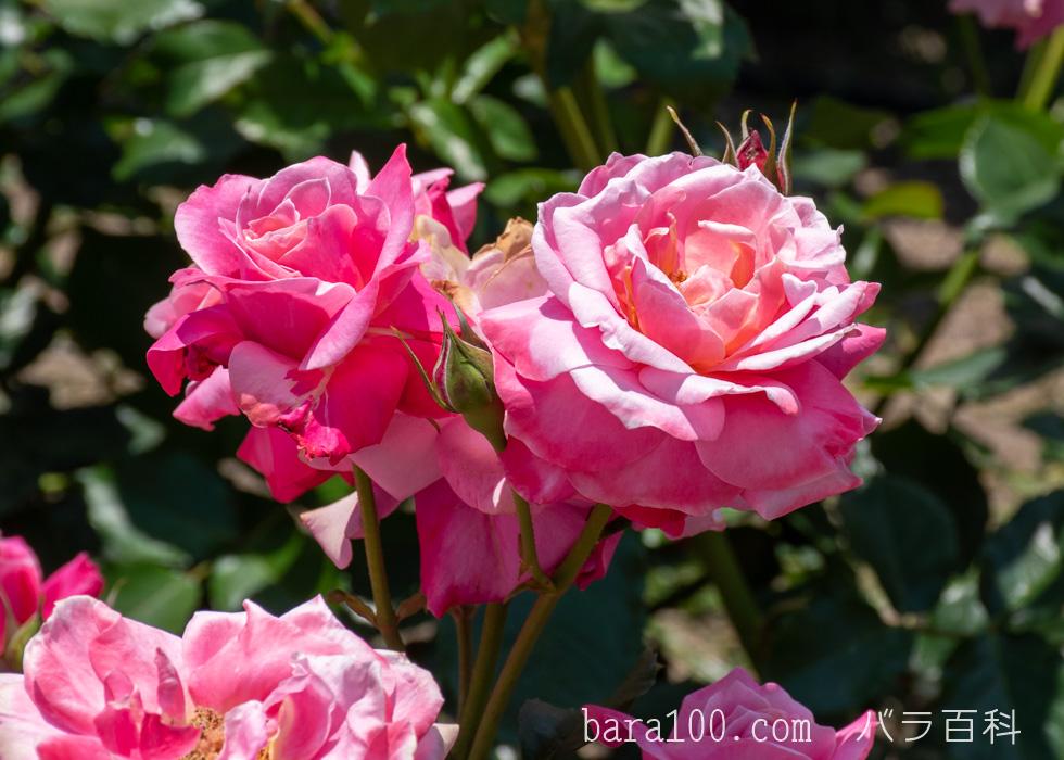 プリンセス・チチブ:びわ湖大津館イングリッシュガーデンで撮影したバラの花