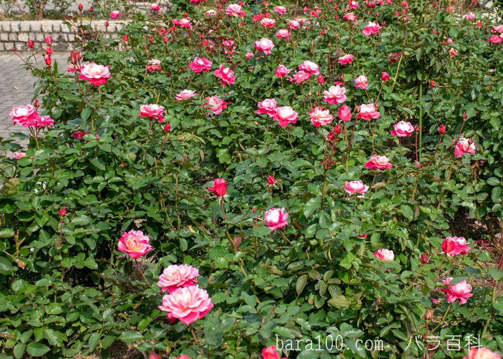 プリンセス・チチブ:長居植物園バラ園で撮影したバラの木