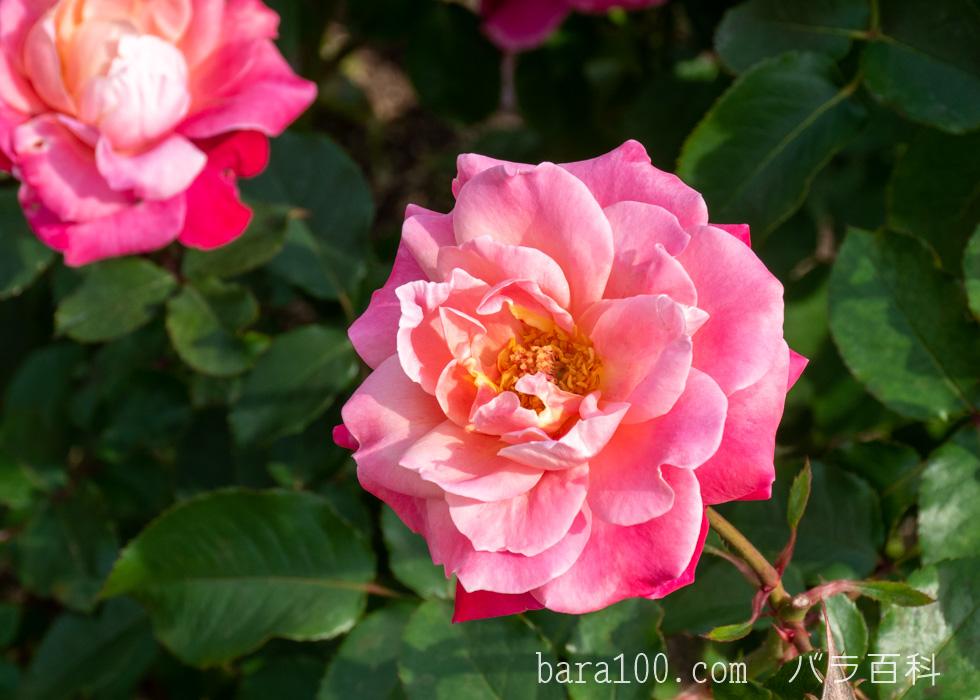 プリンセス・チチブ:長居植物園バラ園で撮影したバラの花
