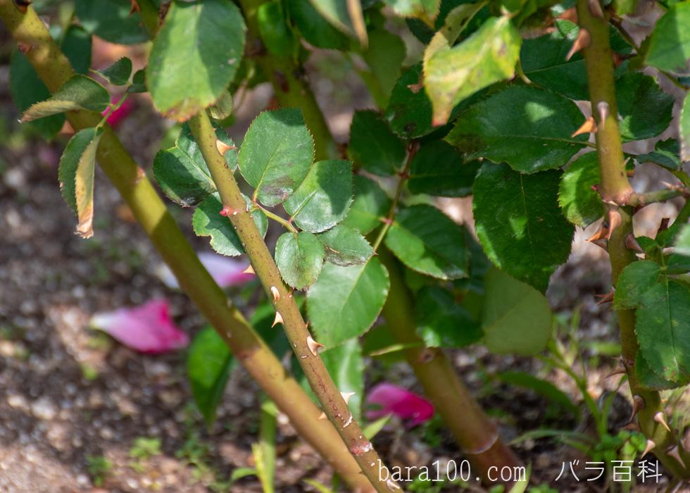 プリンセス・チチブ:長居植物園バラ園で撮影したバラの葉と枝とトゲ