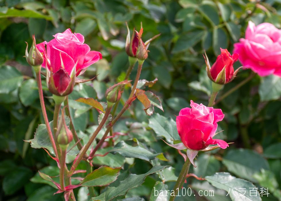 プリンセス・チチブ:長居植物園バラ園で撮影したバラのつぼみ