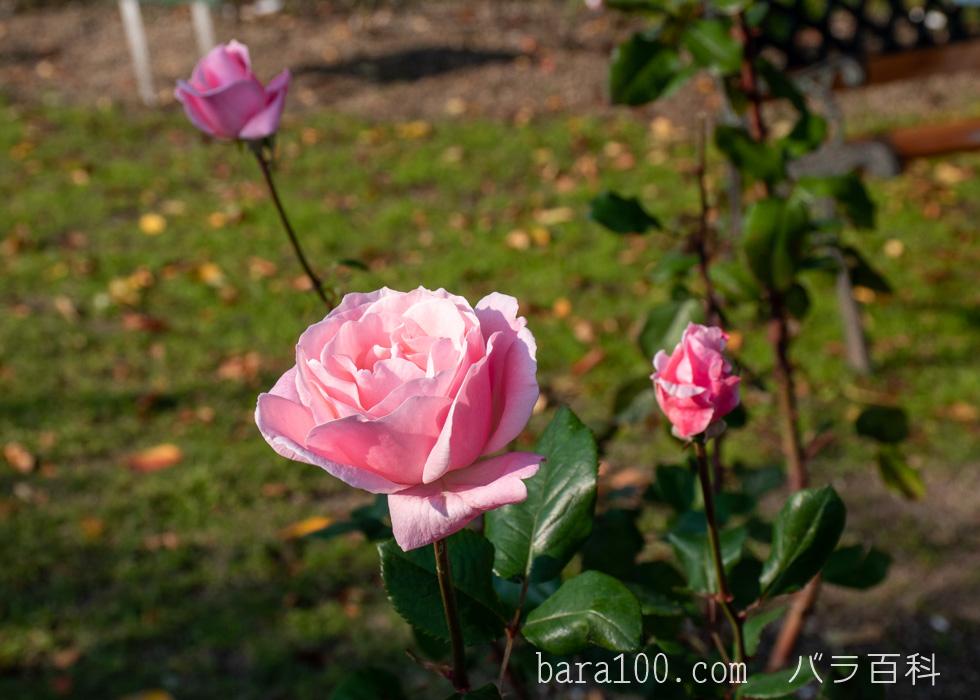 クイーン・エリザベス:びわ湖大津館イングリッシュガーデンで撮影したバラの花