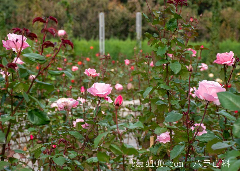 クイーン・エリザベス:長居植物園バラ園で撮影したバラの花