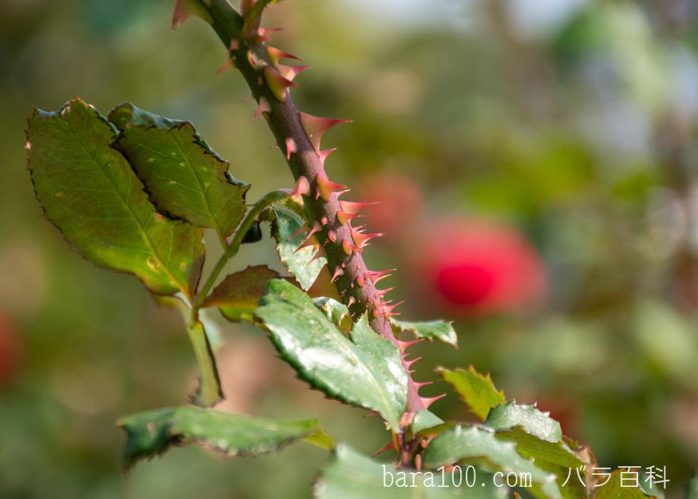 ローズ・オオサカ:長居植物園バラ園で撮影したバラの葉と枝とトゲ