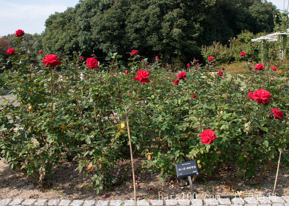 ローズ・オオサカ:長居植物園バラ園で撮影したバラの木