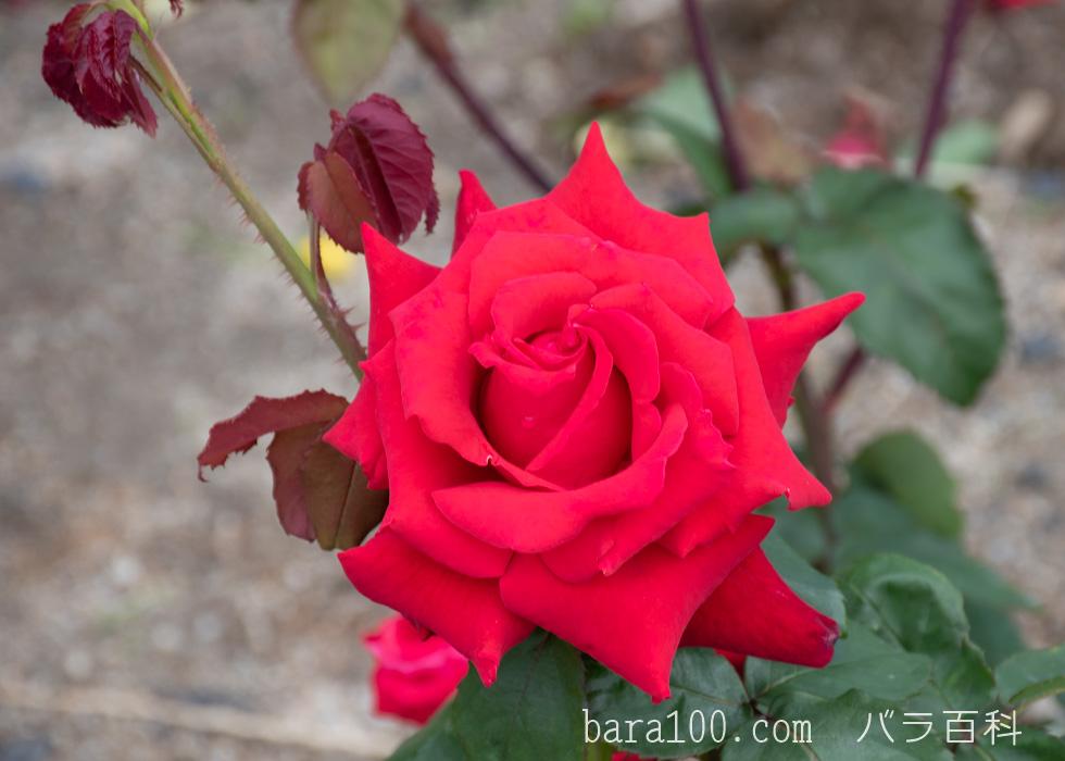 ローズ・オオサカ:湖西浄化センター バラ花壇で撮影したバラの花