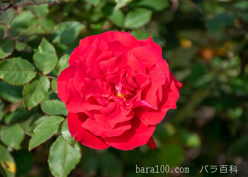 ローズ・オオサカ:長居植物園バラ園で撮影したバラの花