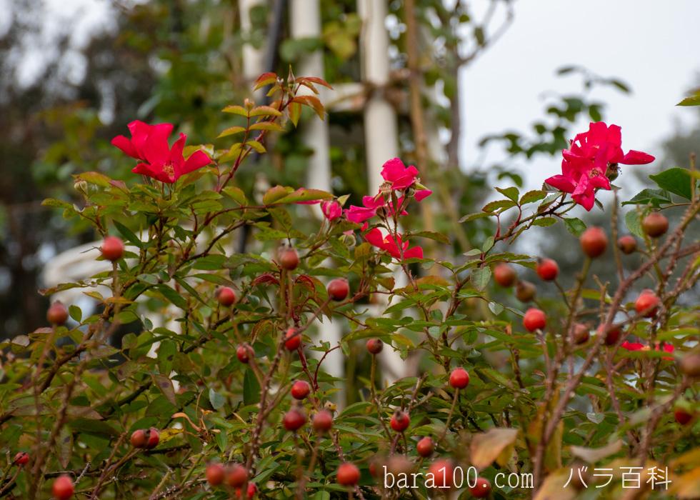 ロージー・カーペット:長居植物園バラ園で撮影したバラの花と実
