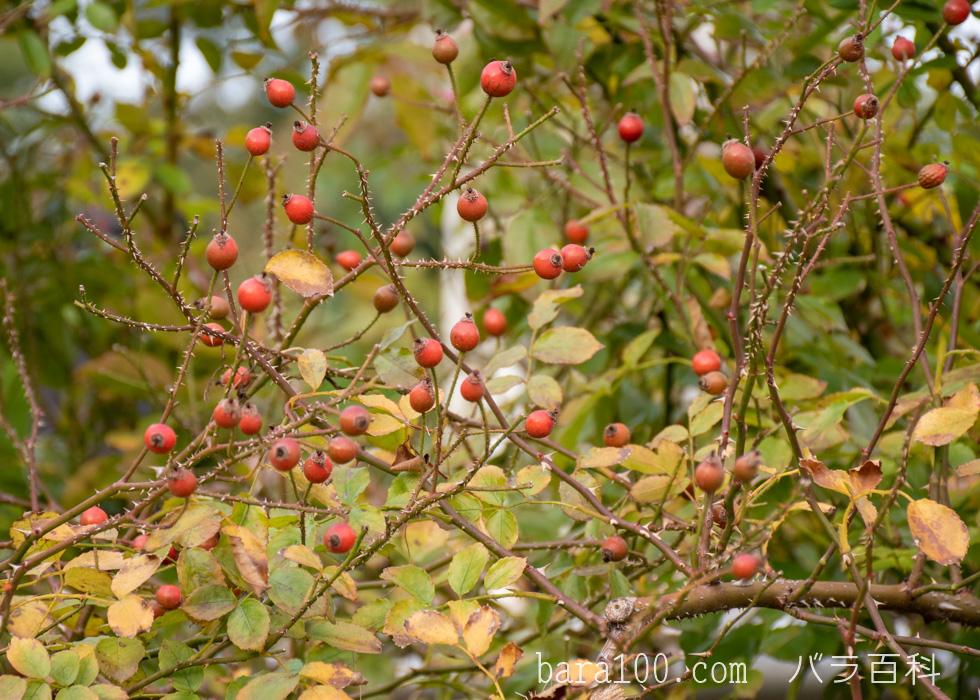ロージー・カーペット:長居植物園バラ園で撮影したバラの実