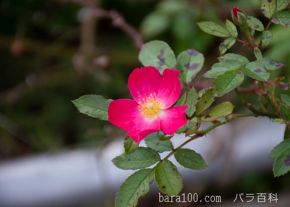ロージー・カーペット:長居植物園バラ園で撮影したバラの花