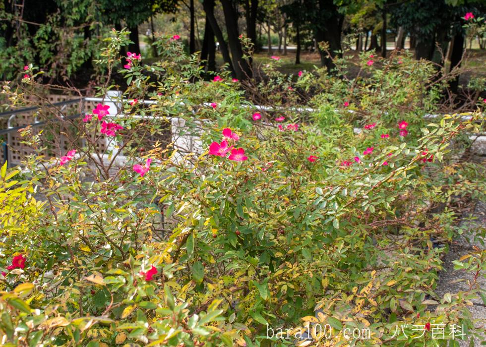 ロージー・カーペット:長居植物園バラ園で撮影したバラの木