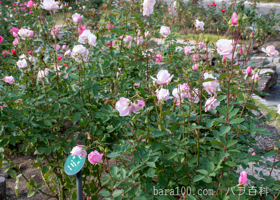 桜貝(サクラガイ):花博記念公園鶴見緑地バラ園で撮影したバラの木
