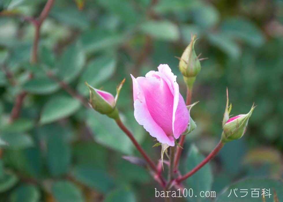 桜貝(サクラガイ):花博記念公園鶴見緑地バラ園で撮影したバラのつぼみ