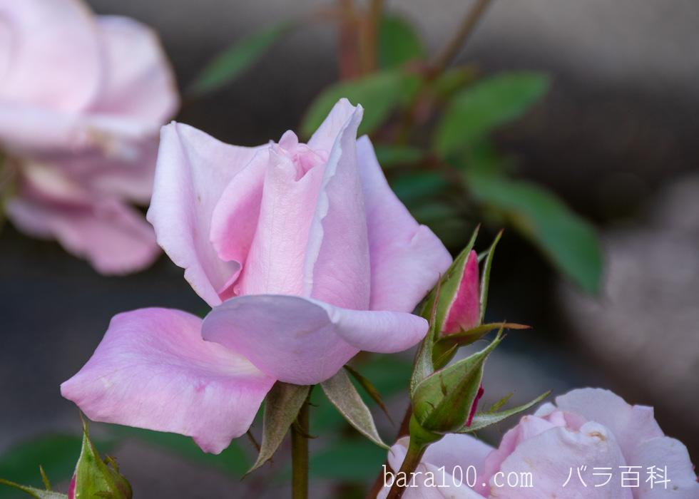 桜貝(サクラガイ):花博記念公園鶴見緑地バラ園で撮影したバラの花
